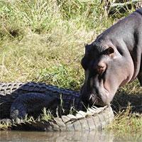Vì sao sát thủ đầm lấy như cá sấu lại sợ hà mã?