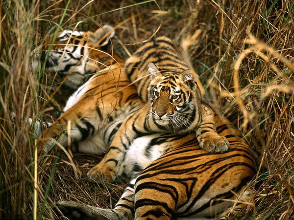 Viagra có thể cứu loài hổ khỏi tuyệt chủng?