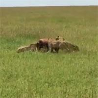Video: 1 chọi 5, linh dương vẫn khiến đàn báo săn thua muối mặt
