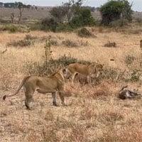 Video: 3 con sư tử cái đang