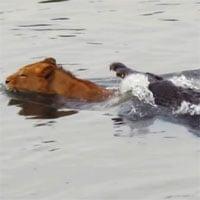 Video: Bị cá sấu dìm xuống nước, sư tử vẫn có màn