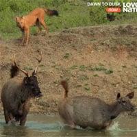 Video: Bị đàn sói lửa bao vây, hươu Sambar vẫn sống sót thần kỳ nhờ quyết định này
