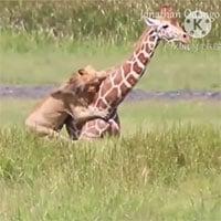 Video: Bí mật giúp sư tử đực hạ gục được một con hươu cao cổ to lớn
