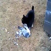 Video: Bồ câu giả chết, mèo ú để tuột miếng mồi ngon