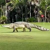 Video: Cá sấu béo múp lừng lững đi dạo quanh sân golf khiến nhiều người choáng váng