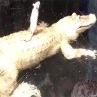 Video: Cá sấu khốn đốn chỉ vì... 1 con chuột bạch!