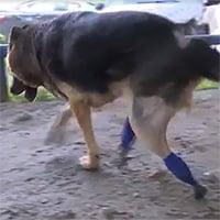Video: Các bác sĩ thú y ở Nga phát minh chân giả 3D cho chó