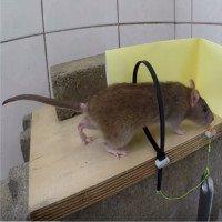 Video: Cách làm bẫy chuột kiểu thòng lọng