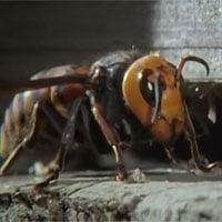 Video: Cái kết đắng của ong bắp cày khổng lồ khi xâm nhập tổ ong mật
