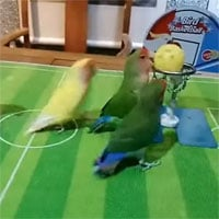 Video: Cảnh tượng hài hước khi những chú vẹt chơi bóng rổ