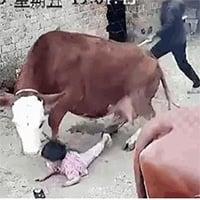 Video: Cháu gái bị bò tấn công, bà lao vào giải cứu và cái kết thót tim
