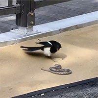 Video: Chim ác là sà xuống tấn công rắn trên đường và điều bất ngờ ở phút cuối