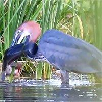 Video: Chim diệc một chiêu bắt sống cá trê khủng