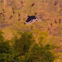 Video: Chim hồng hoàng bắt dơi bay giữa không trung