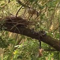 Video: Chim mẹ ra đòn chí mạng, cứu con non khỏi miệng rắn độc