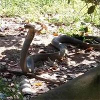 Video: Chó nhà tử chiến rắn hổ mang chúa trên đường mòn và cái kết