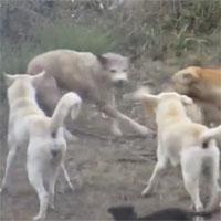 Video: Chó sói bị cả đàn chó nhà hợp sức tấn công, liệu số phận của nó sẽ ra sao?