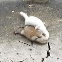 Video: Chồn nâu bạch tạng quần chiến dữ dội với chuột xạ hương, bên nào sẽ chiến thắng?