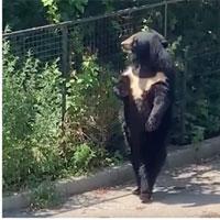 Video: Chú gấu đen hờ hững, dạo bước đi bằng 2 chân