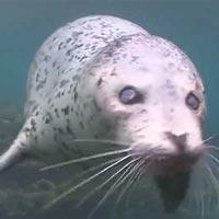 """Video: Chú hải cẩu mù hai mắt quyết không đầu hàng """"thần chết"""""""