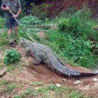 Video: Chuyên gia cá sấu cầm gậy chọc cá sấu khổng lồ và cái kết