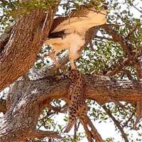 Video: Đại bàng khổng lồ xé xác báo con trên cành cây