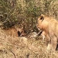 Video: Dám nhòm ngó bữa ăn của đàn sư tử, linh cẩu nhận kết cục bi thảm