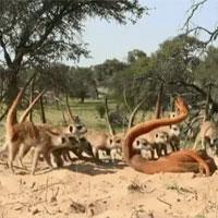 Video: Đàn cầy vằn hợp sức đánh đuổi robot rắn hổ mang và cái kết