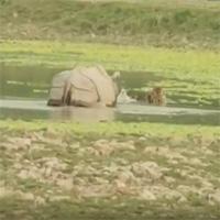 Video: Đang ngâm mình thư giãn, hổ giật mình chạy