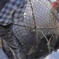 Video: Đào hố băng, kéo lồng lên, bên trong là một trong những loại hải sản đắt nhất thế giới