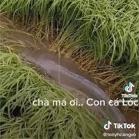 Video: Đi thăm đồng, anh nông dân sốc trước danh tính con vật phá nát ruộng lúa