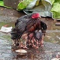 Video: Gà mẹ dang cánh che chở đàn con giữa trời mưa bão