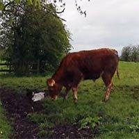 """Video: Gà trống điên cuồng """"cà khịa"""" cả đàn bò"""