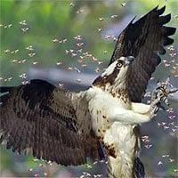 Video: Gặp loại chim này, đến ong bắp cày khổng lồ cũng phải