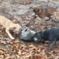 Video: Gấu mèo bị bầy chó sục bao vây tấn công tới tấp, liệu nó có thể chạy thoát được?