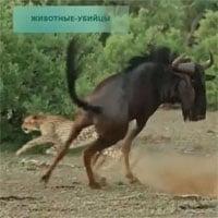 Video: Gãy 1 chân, linh dương đầu bò vẫn tử chiến với 3 báo săn và cái kết khó tin