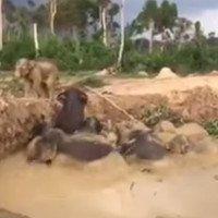 Video: Giải cứu đàn voi 11 con mắc kẹt dưới hố bùn ở Campuchia