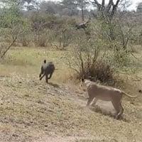 Video: Hăng máu truy đuổi sư tử, khỉ đầu chó nhận ngay kết đắng