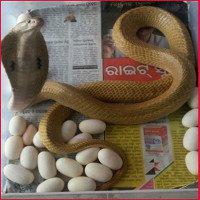 Video hiếm quay cảnh hổ mang chúa đẻ 23 quả trứng