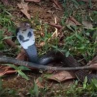 Video: Hổ mang chúa bị quăng quật tơi bời - cái kết bi thảm cho