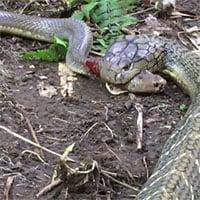 Video: Hổ mang chúa giết và nuốt chửng rắn săn chuột trong tích tắc