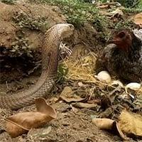 Video: Hổ mang đất bất ngờ tấn công gà mẹ đang ấp trứng, trận chiến sẽ có kết quả ra sao?