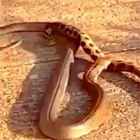 Video: Hổ mang tung cú cắn, tiêm đầy nọc vào người rắn hổ bướm cực độc, kẻ nào chết trước?