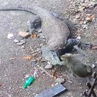 Video: Khỉ trèo lên hàng rào vẫn không thoát khỏi con rồng Komodo khát máu, kết cục bi thảm