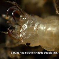 Video: Kinh hãi loài ấu trùng chuyên... săn ếch