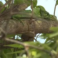 Video: Kỳ đà leo tận cành cây cao rồi thò đầu vào tổ chim, kết cục sẽ ra sao?
