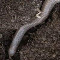 Video: Kỳ lạ loài rắn độc chỉ thích chui xuống đất để kiếm ăn, nó tìm con mồi gì ở bên dưới?