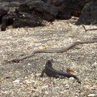 Video: Kỳ nhông con thoát khỏi sự truy đuổi của đàn rắn một cách thần kỳ
