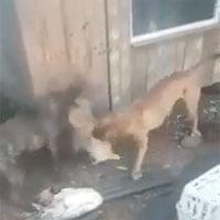 Video: Lẻn vào chuồng gà kiếm ăn, cáo bị 2 con chó Pitbull phát hiện và tấn công dữ dội