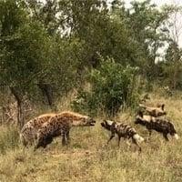 Video: Linh cẩu bỏ chạy sau màn đối đầu với chó hoang châu Phi